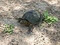 Европейская болотная черепаха.6.jpg
