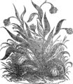 Лук, растение (БЭАН).png