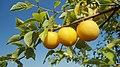 Слива – плодове 2.jpg