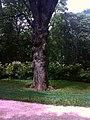 Тургеневский дуб, узловатый ствол PIC10062609.jpg