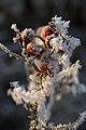 Шиповник морщинистый (Rosa rugosa) в инее.jpg