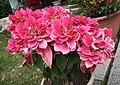 一品紅-重瓣 Euphorbia pulcherrima v plenissima -台南孔廟 Tainan, Taiwan- (27094541438).jpg