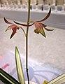 報歲黃金彩 Cymbidium sinense 'Gold Brilliance' -香港沙田國蘭展 Shatin Orchid Show, Hong Kong- (12712611945).jpg