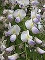 多花紫藤 Wisteria floribunda -比利時 Ghent University Botanical Garden, Belgium- (9252393957).jpg