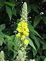 毛蕊花(一柱香) Verbascum thapsus -哥本哈根大學植物園 Copenhagen University Botanical Garden- (9261992702).jpg