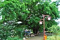 河边榕树 - panoramio.jpg