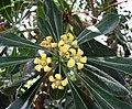 異葉海桐 Pittosporum heterophyllum -比利時國家植物園 Belgium National Botanic Garden- (15155701642).jpg