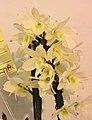 石斛蘭 Dendrobium Pearl Heart x Santana -台南國際蘭展 Taiwan International Orchid Show- (40779278012).jpg