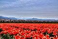 舟川の桜 - panoramio.jpg