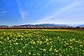 舟川の桜 - panoramio (3).jpg