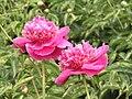 芍藥-台閣型 Paeonia lactiflora Chamber-series -瀋陽植物園 Shenyang Botanical Garden, China- (9207627330).jpg
