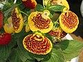 荷包花 Calceolaria x herbeohybrida -昆明金殿植物園 Kunming YuanLin Botanic Gardens, China- (9252462911).jpg
