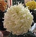 菊花-東海白龍 Chrysanthemum morifolium 'White Dragon' -香港圓玄學院 Hong Kong Yuen Yuen Institute- (11961166545).jpg