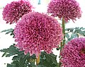 菊花-紫桂明月 Chrysanthemum morifolium 'Purple Stamens Bright Moon' -香港圓玄學院 Hong Kong Yuen Yuen Institute- (12049602703).jpg