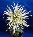 菊花-雀舌型 Chrysanthemum morifolium Bird-tongue-tubular-series -上海松江方塔園 Song Jiang, Shanghai- (9207626886).jpg