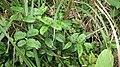 雙面刺 Zanthoxylum nitidum DC. - panoramio.jpg