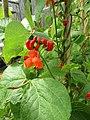 -2019-07-02 Runner beans plants in flower (Phaseolus coccineus), Trimingham, Norfolk (1).JPG