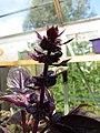 -2019-08-02 Purple Basil (Ocimum basilicum) Trimingham, Norfolk (2).JPG