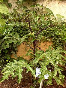 Solanum atropurpureum Schrank - Checklist View