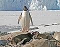 00 0074 Gentoo penguin in Antarctica.jpg