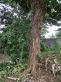 04224jfSanto Rosario La Purisima Artocarpus altilis Aliaga Nueva Ecijafvf 17.JPG