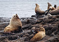 071203 steller sea lion rookery rogue reef (15116891986).jpg