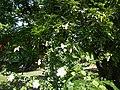09335jfHibiscus cultivarfvf 08.JPG