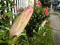 0985jfHibiscus rosa sinensis Linn White Pinkfvf 22.jpg