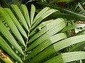 0998Ornamental plants in the Philippines 58.jpg