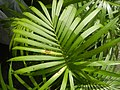 0998Ornamental plants in the Philippines 59.jpg