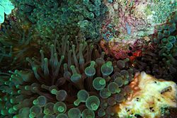 Plusieurs anémones bulle, au Timor