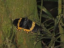 100222 南投县 竹山镇 秀林里 黃帶枝尺蛾 Milionia basalis pryeri Druce, 1888 Moth in Chushan, Taiwan.jpg