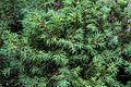 1024 Alpen-Wacholder (Juniperus communis)-2880.jpg