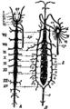 1911 Britannica-Arachnida-Lankester.png