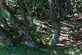 200-årige vortebirk i Thagaards Plantage.jpg