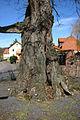 2008-03-30 Büdingen-Wolf Naturdenkmal 440.009 Linde am Friedhof - 6313.jpg