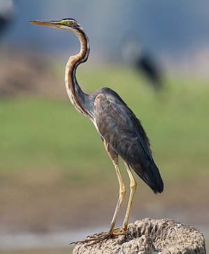 Purple heron - Adult from Nagarhole National Park