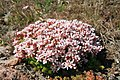 2010 Sedum anglicum blossom.jpg