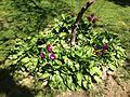 2013-05-04 13 58 55 Hosta and tulips at 988 Terrace Boulevard in Ewing, New Jersey.JPG