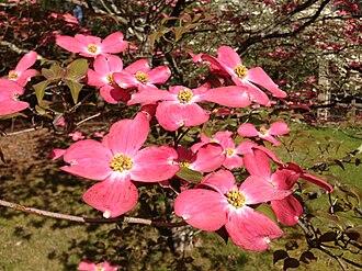 Cornus florida - Pink variety flower clusters
