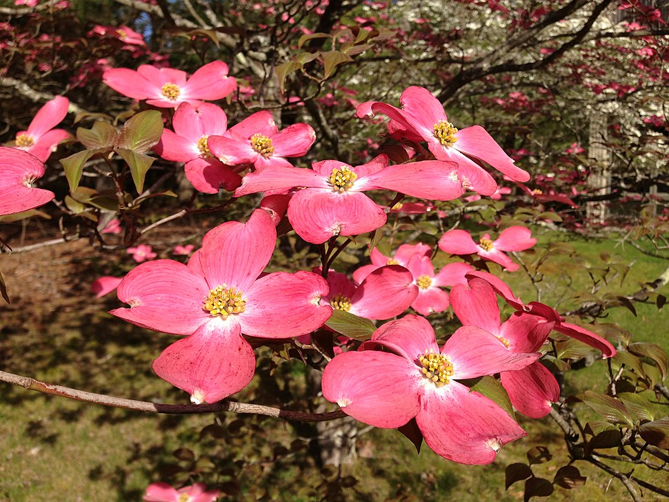 2013-05-10 08 26 08 Closeup of pink dogwoods at the Brendan T. Byrne State Forest headquarters