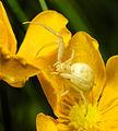 2013-06-07 21-14-27-thomisidae.JPG