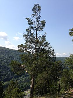 2013-08-20 11 52 49 Eastern Red Cedar at about 720 feet on the Mount Tammany Trail.jpg