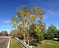 2014-11-02 13 09 20 Tree of Heaven during autumn along Lower Ferry Road in Ewing, New Jersey.JPG