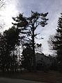 2014-12-30 13 04 14 Eastern White Pine along Linwood Avenue in Ewing, New Jersey.JPG