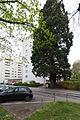 20140405171416 Linz Mammutbaum 4948.jpg