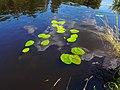 20140805 Gele plomp (Nuphar lutea) Noord-Willemskanaal Dr NL.jpg