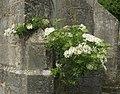 2014 05 25 Sureau eglise de Reville.JPG