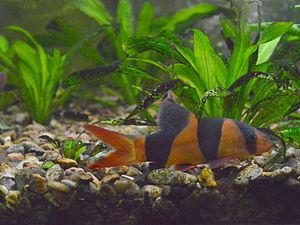 Clown loach - A clown loach in a planted tropical freshwater aquarium.