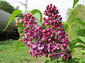 20150429Syringa vulgaris1.jpg